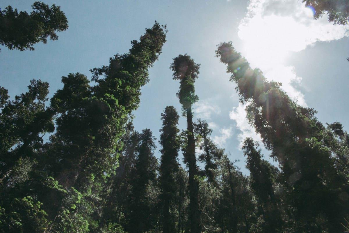 Pine trees on trekking trip to Dagri Forest