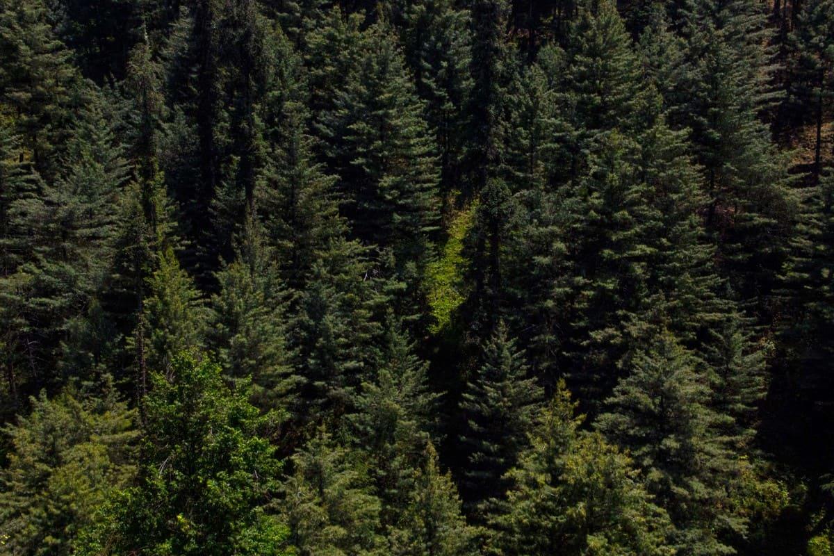 Pine trees on trekking trip to Dagri Forest(1)
